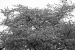 jefferson cherry blossom 2