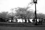 jefferson cherry blossom 3