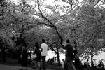 jefferson cherry blossom 4