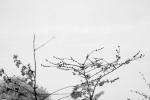 jefferson cherry blossom 5-6