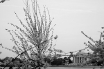 jefferson cherry blossom 5-7