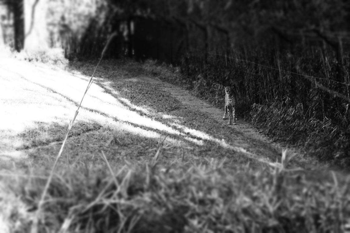 cheetah, black and white, tilt shift, 2014